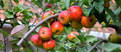 Agrimar: Pesquisa aponta aumento de produtividade em macieiras irrigadas   Pit Brand Inside